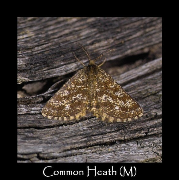 M Common Heath (M)