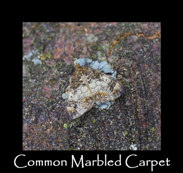 M Common Marbled Carpet (2)