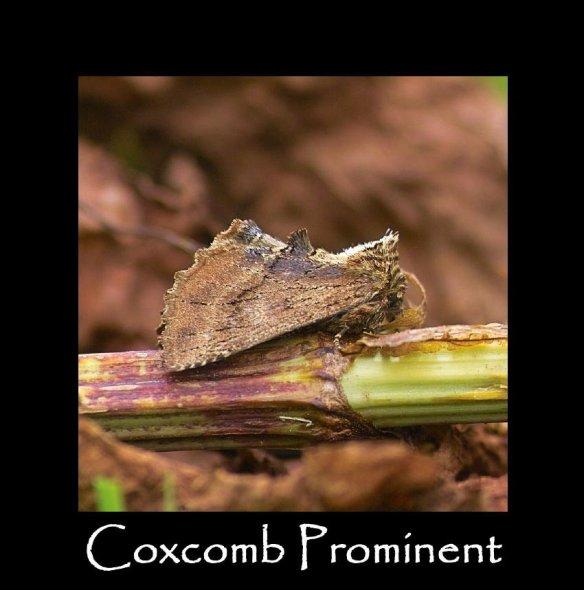 M Coxcomb Prominent (2)
