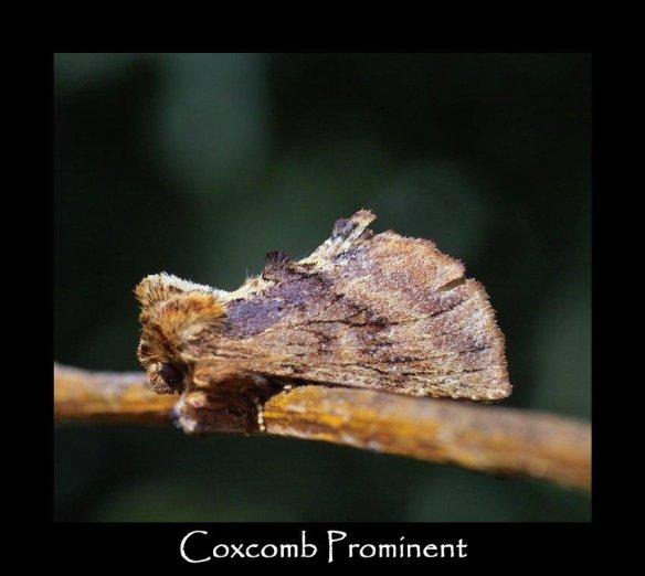 M Coxcomb Prominent