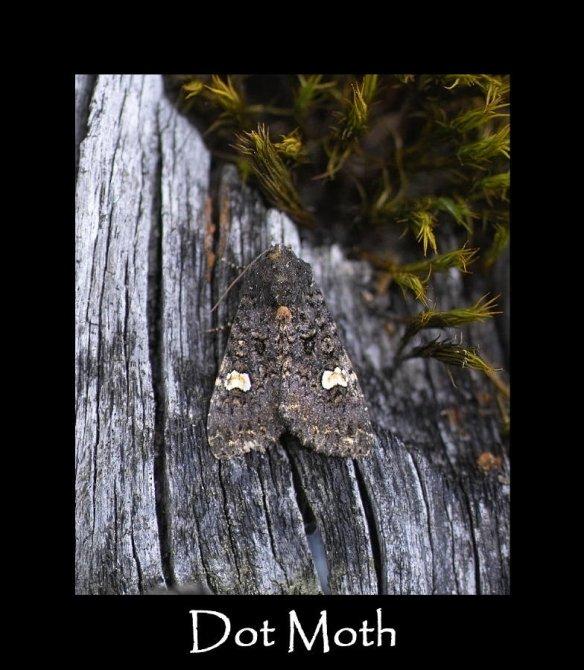 M Dot Moth