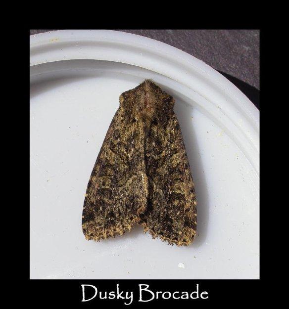 M Dusky Brocade
