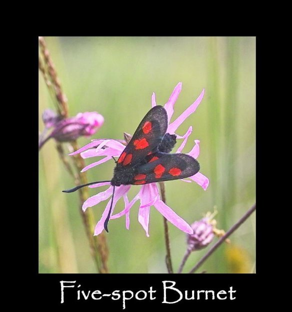 M Five-spot Burnet 2)