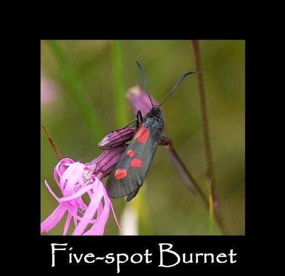 M Five-spot Burnet 2