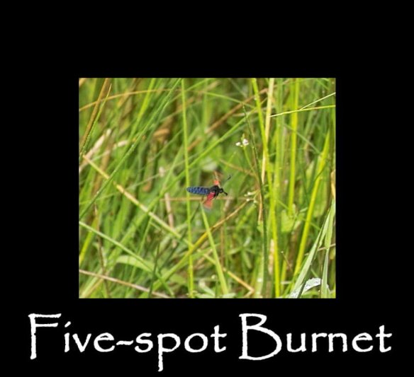 M Five-spot Burnet (flight)