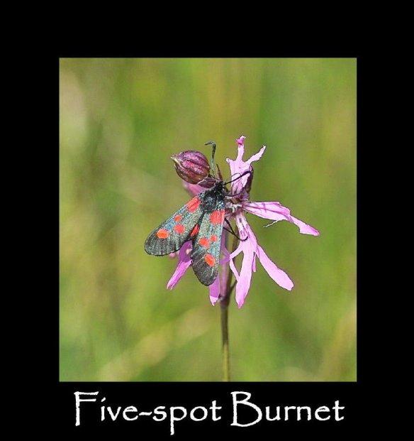 M Five-spot Burnet
