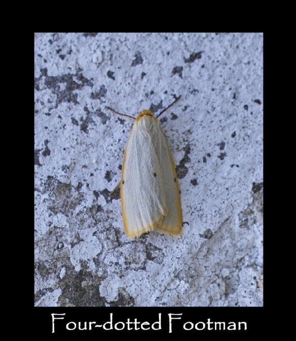 M Four-dotted Footman