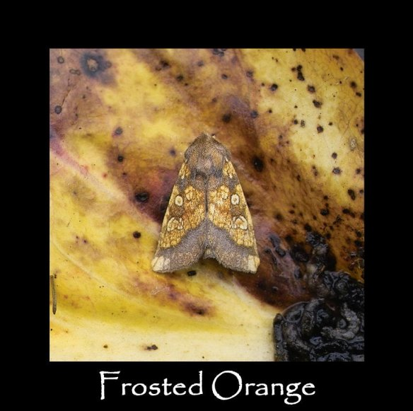 M Frosted Orange (2)