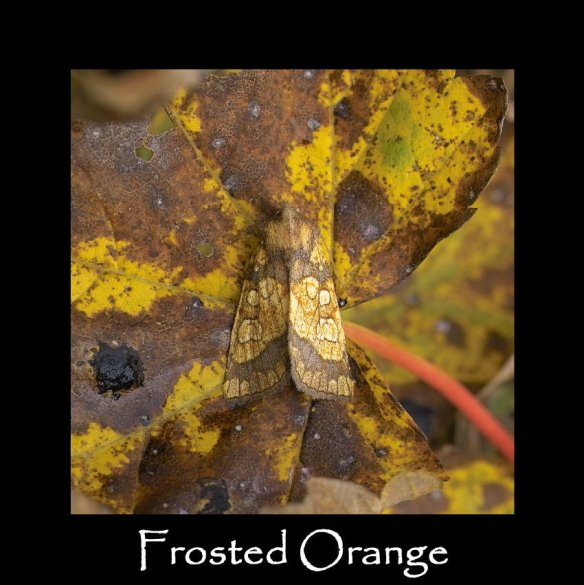 M Frosted Orange