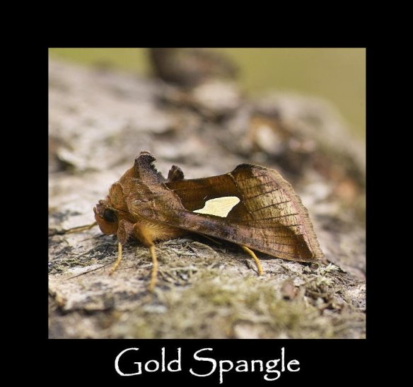 M Gold Spangle (2)