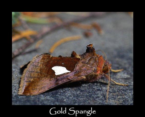 M Gold Spangle