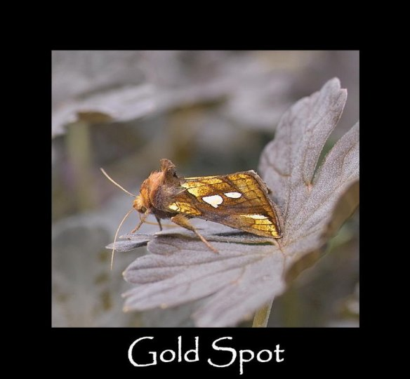 M Gold Spot (2)