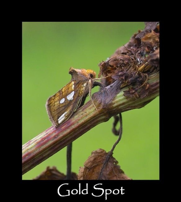 M Gold Spot