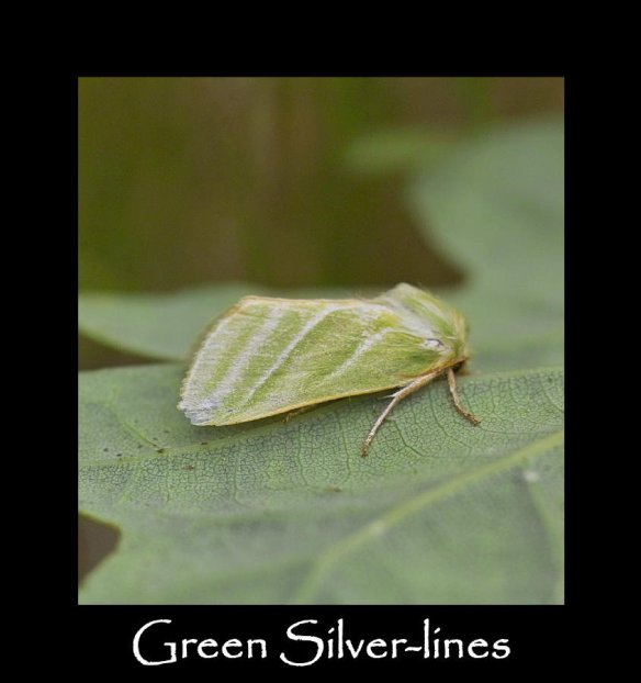 M Green Silver-lines
