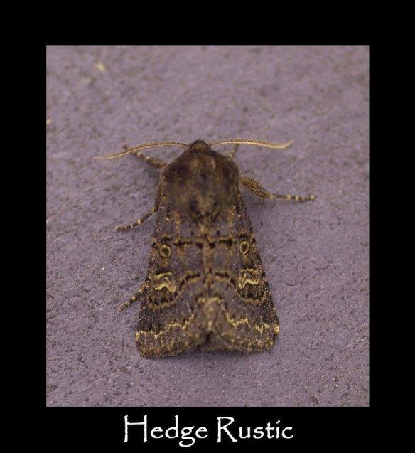 M Hedge Rustic (2) (2)