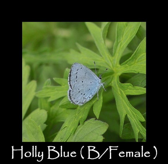 M Holly Blue ( B Female )2 (2)