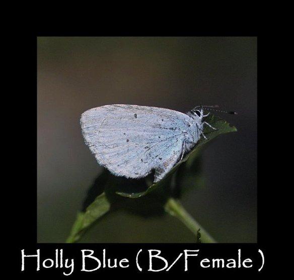 M Holly Blue ( B Female ) 2