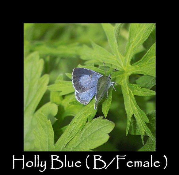 M Holly Blue ( B Female ) (2)