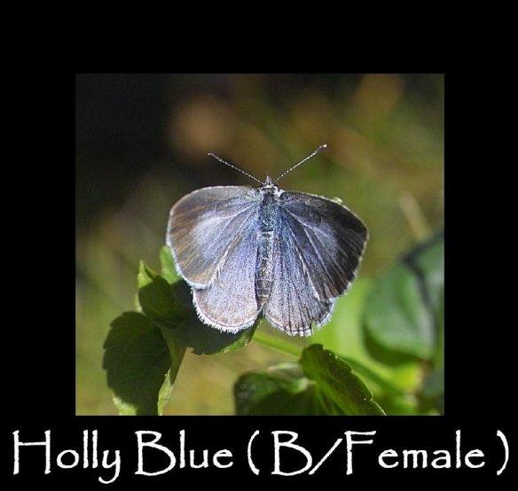 M Holly Blue ( B Female )
