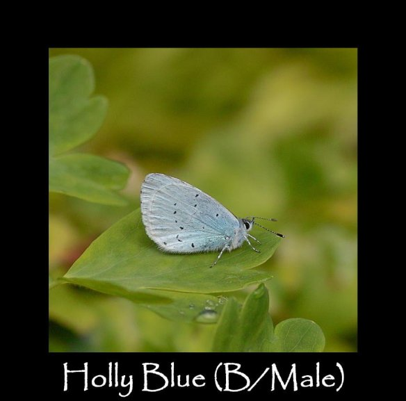M Holly Blue ( B Male ) 2 (2)