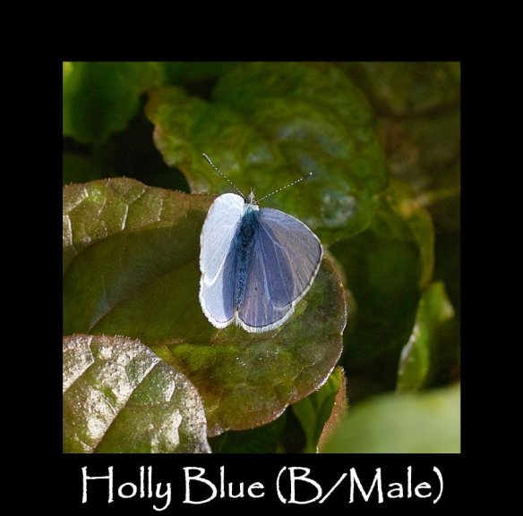 M Holly Blue ( B Male ) (2)