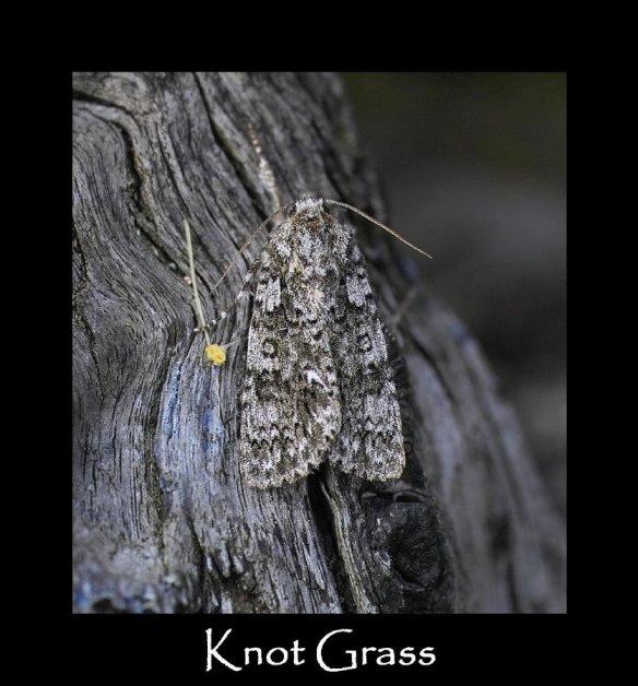 M Knot Grass