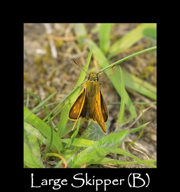 M Large Skipper (B) 2
