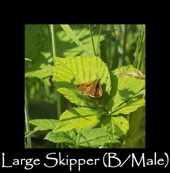 M Large Skipper ( B Male ) (2)