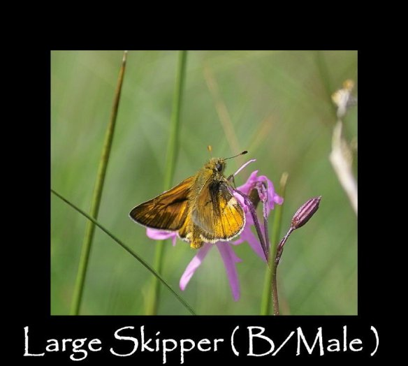 M Large Skipper ( B Male )