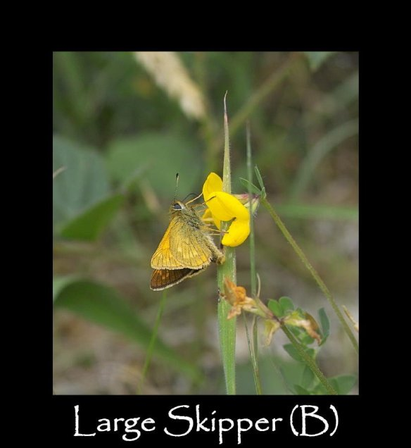 M Large Skipper (B)