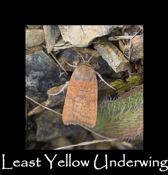 M Least Yellow Underwing (2)