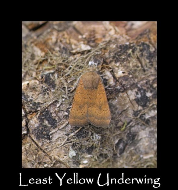M Least Yellow Underwing