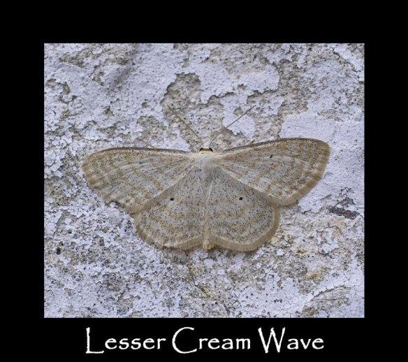M Lesser Cream Wave