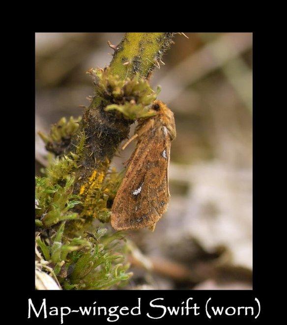 M Map-winged Swift (2)