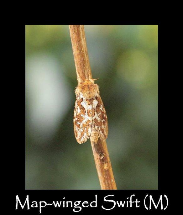 M Map-winged Swift