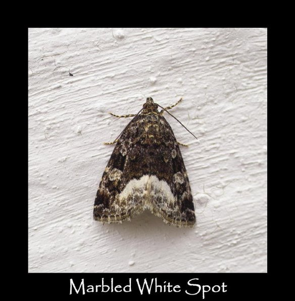 M Marbled White Spot (2)