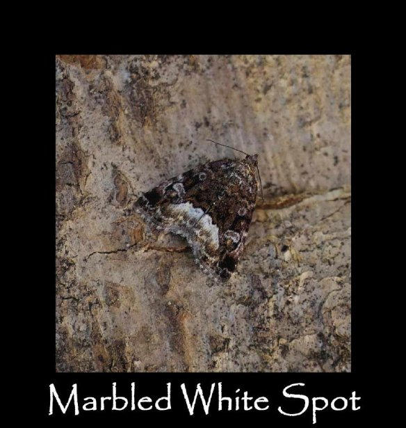 M Marbled White Spot