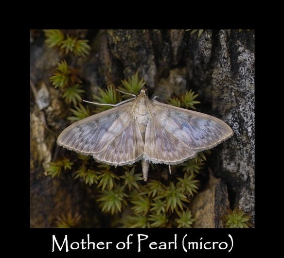 M Mother of Pearl (micro) (2)