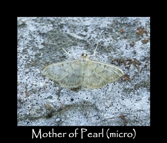 M Mother of Pearl (micro)