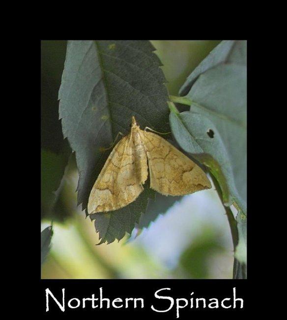 M Northern Spinach 2