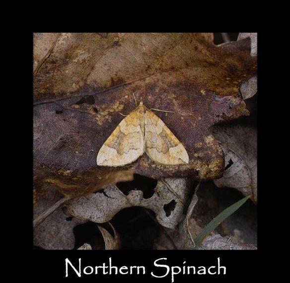 M Northern Spinach (2)