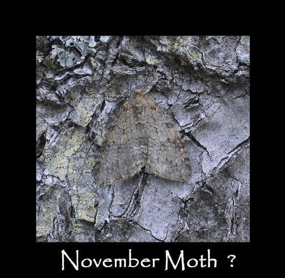 M November Moth (2)