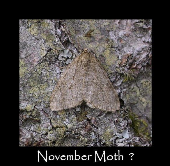 M November Moth