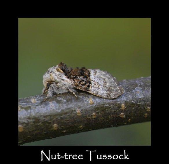 M Nut-tree Tussock