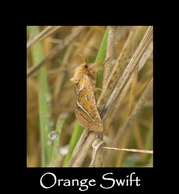 M Orange Swift