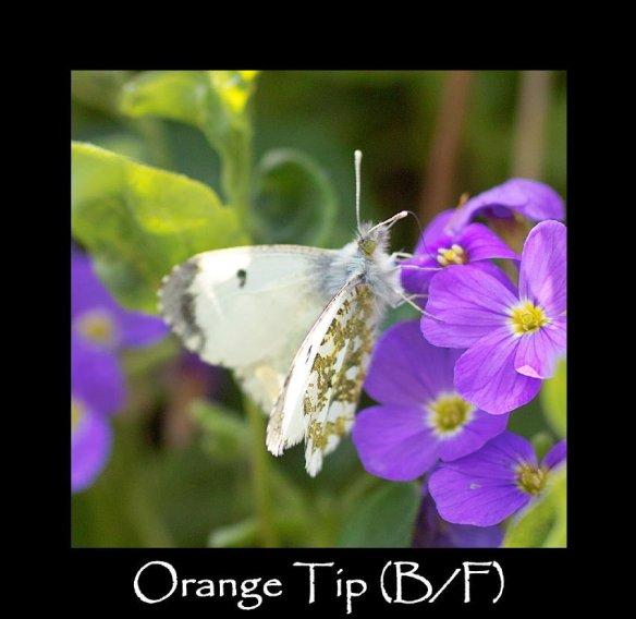 M Orange Tip (B F) (2)