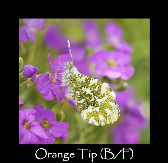 M Orange Tip (B F)
