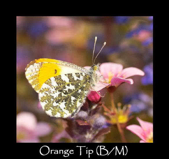 M Orange Tip (B M) (2)