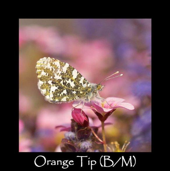 M Orange Tip (B M)