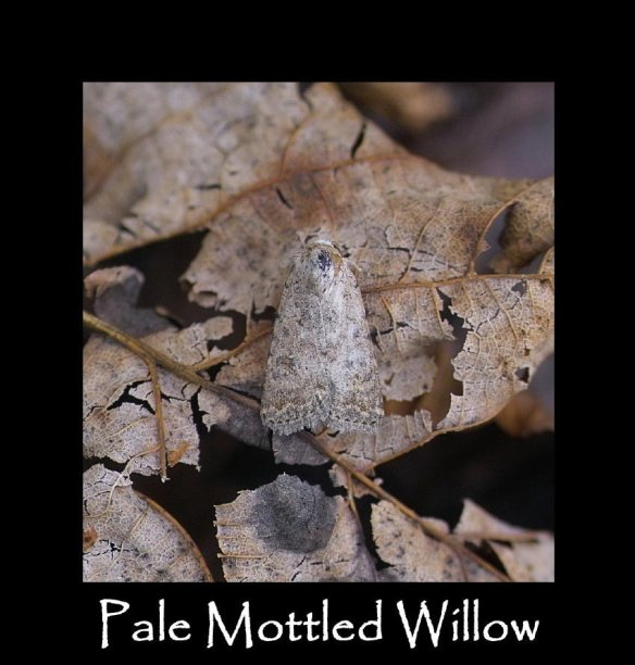 M Pale Mottled Willow